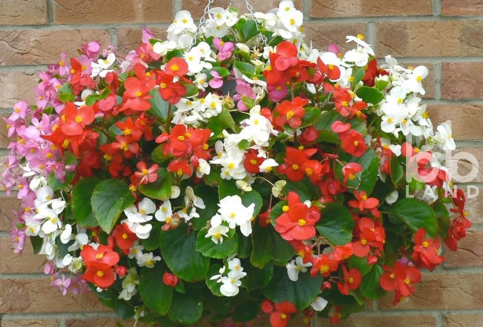 Cây Thu Hải Đường Trường Sinh (Wax Begonia, Begonia Semperflorens)