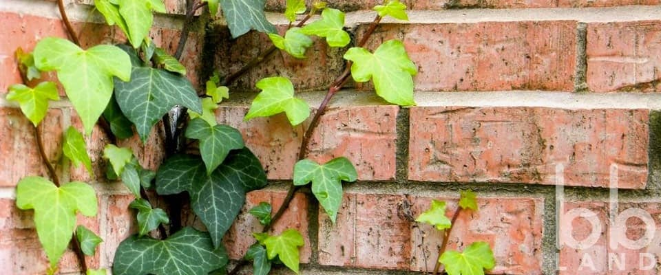 Cây Thường Xuân (Ivy, Hedera Helix)